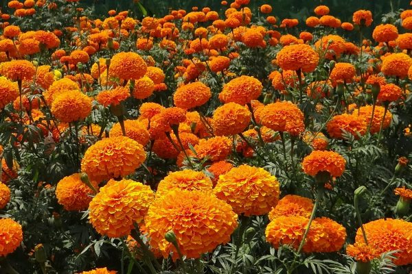 Six Heat Resistant Annuals to Plant this Summer